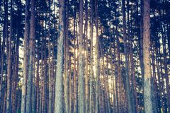Vintage photo of autumnal pine forest Stock Photos