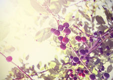Vintage photo of beautiful cherry tree with fruits, antique styl Royalty Free Stock Photo
