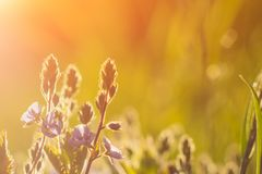 Vintage photo of beautiful purple wild flowers in sunset.  royalty free stock photos