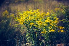 Vintage photo of beautiful yellow goldenrod flowers blooming Royalty Free Stock Photography