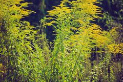 Vintage photo of beautiful yellow goldenrod flowers blooming Royalty Free Stock Image