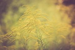 Vintage photo of beautiful yellow goldenrod flowers blooming Stock Photography