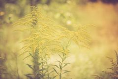 Vintage photo of beautiful yellow goldenrod flowers blooming Royalty Free Stock Images