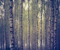 Vintage photo of birch forest Royalty Free Stock Photo