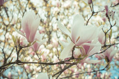 Vintage photo, Blooming colorful magnolia flowers in sunny garden or park, springtime Royalty Free Stock Images