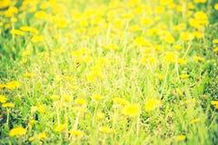 Vintage photo of blooming dandelions flowers Royalty Free Stock Image