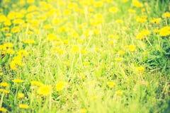 Vintage photo of blooming dandelions flowers Stock Image