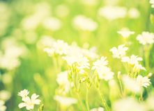 Vintage photo of blooming white flowers of chickweed Royalty Free Stock Image
