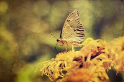 Vintage photo of a butterfly Royalty Free Stock Image