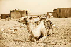 Vintage photo of camel Stock Image