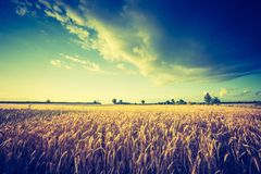 Vintage photo of cereal field landscape Stock Photography