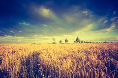 Vintage photo of cereal field landscape Royalty Free Stock Image