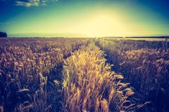 Vintage photo of cereal field landscape Royalty Free Stock Photos