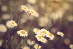 Vintage photo of chamomile flowers Stock Images