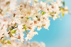 Vintage photo of cherry tree flowers with blue sky Royalty Free Stock Photos