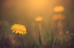 Vintage photo of dandelion flower Royalty Free Stock Photography