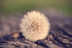 Vintage photo of a dandelion seed Royalty Free Stock Images