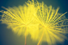 Vintage photo of dandelion seeds. In close up. Natural background Stock Image