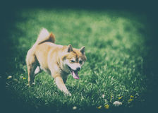 Vintage photo of dog shiba inu. On grass Stock Photo