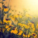 Vintage photo of field of yellow flowers  in sunset Royalty Free Stock Photos