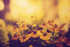 Vintage photo of field of yellow flowers in sunset Stock Photo