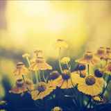 Vintage photo of field of yellow flowers in sunset Stock Photography