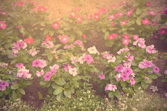 Vintage photo of a flower bed Royalty Free Stock Photo
