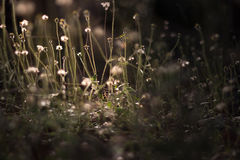 Vintage photo of Flowering grass Stock Image