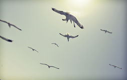 Vintage photo of flying seagulls Royalty Free Stock Photo