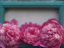 Vintage photo frame and three lovely peonies royalty free stock images