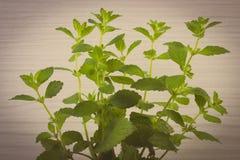 Vintage photo, Fresh healthy lemon balm, wooden background, herbalism Stock Image