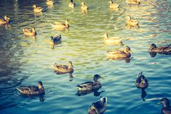 Vintage photo of herd of wild ducks swimming in small pond. Illuminated by sunset light Royalty Free Stock Photography