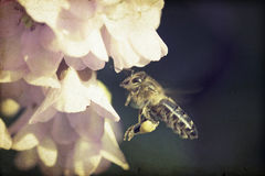 Vintage photo of honeybee Royalty Free Stock Photography