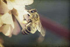 Vintage photo of honeybee Royalty Free Stock Photos