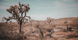 Vintage photo of Joshua Tree stock images