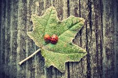 Vintage photo of ladybugs on green leaf Royalty Free Stock Photo