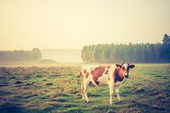 Vintage photo of landscape with cows on pasture Royalty Free Stock Photos