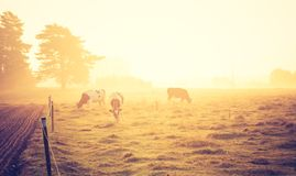 Vintage photo of landscape with cows on pasture Royalty Free Stock Images