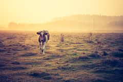 Vintage photo of landscape with cows on pasture Royalty Free Stock Image
