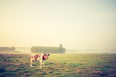 Vintage photo of landscape with cows on pasture Stock Image