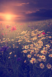 Vintage photo of lots of wildflowers in sunset Royalty Free Stock Images