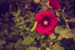 Vintage photo of mallow flowers in close up. Flowers growing in garden Stock Image