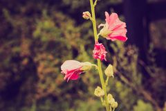 Vintage photo of mallow flowers in close up. Flowers growing in garden Stock Photos
