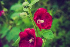 Vintage photo of mallow flowers in close up. Flowers growing in garden Royalty Free Stock Image