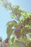 Vintage photo of pear growing on tree Stock Photo