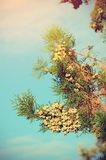 Vintage photo of a pine branch Royalty Free Stock Photo