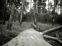 Vintage Photo of Pine Forest Royalty Free Stock Image