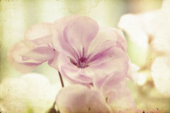 Vintage photo of pink flowers (geranium) with shallow dof. Vintage Close up on geranium royalty free stock photos