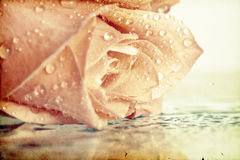 Vintage photo of pink rose Royalty Free Stock Photos