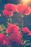 Vintage photo of poppies Royalty Free Stock Images